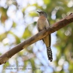 Cacomantis flabelliformis (Fan-tailed Cuckoo) at Coomee Nulunga Cultural Walking Track - 8 Dec 2018 by Charles Dove
