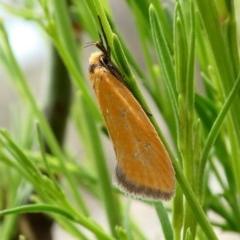 Parergophela melirrhoa (A concealer moth) at Tuggeranong Hill - 11 Dec 2018 by Owen