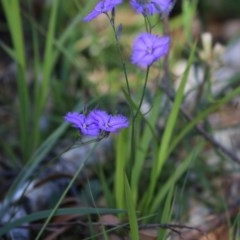 Thysanotus sp. at Wairo Beach and Dolphin Point - 2 Dec 2018 by Charles Dove