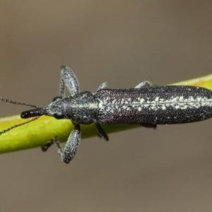 Rhinotia sp. (genus) at ANBG - 6 Dec 2018
