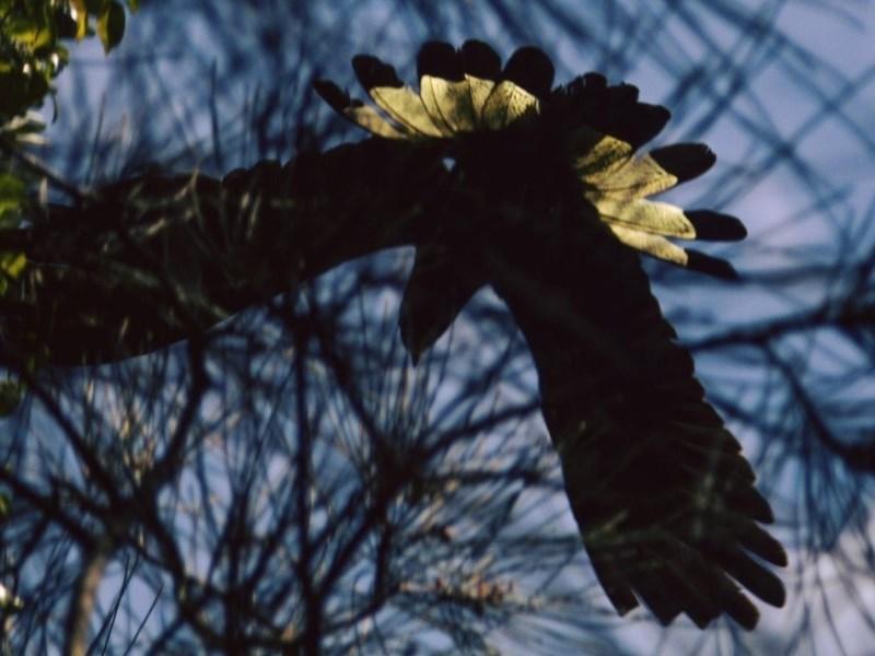 Calyptorhynchus funereus at Narrawallee Foreshore Reserves Walking Track - 9 Dec 2018