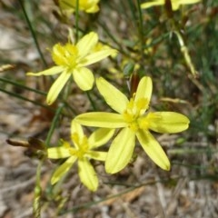 Tricoryne elatior (Yellow Rush Lily) at Griffith Woodland - 11 Dec 2018 by RWPurdie