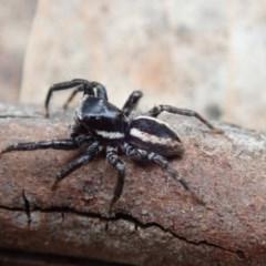 Jotus sp. (genus) (Unidentified Jotus Jumping Spider) at Namadgi National Park - 24 Nov 2018 by Laserchemisty