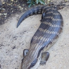 Tiliqua scincoides (Eastern Blue-tongue) at Spence, ACT - 26 Oct 2018 by Laserchemisty
