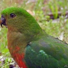 Alisterus scapularis (Australian King-Parrot) at Tidbinbilla Nature Reserve - 11 Dec 2018 by RodDeb