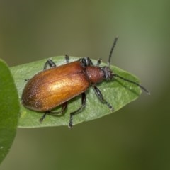 Ecnolagria grandis (Honeybrown beetle) at ANBG - 10 Dec 2018 by Alison Milton