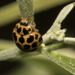 Harmonia conformis (Common Spotted Ladybird) at ANBG - 10 Dec 2018 by Alison Milton