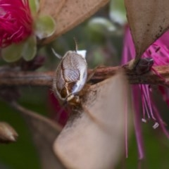 Balta spuria (A Balta Cockroach) at ANBG - 10 Dec 2018 by Alison Milton