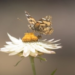 Vanessa kershawi (Australian Painted Lady) at ANBG - 10 Dec 2018 by AlisonMilton