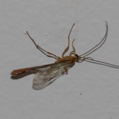 Netelia sp. (genus) (An Ichneumon wasp) at Higgins, ACT - 8 Dec 2018 by Alison Milton