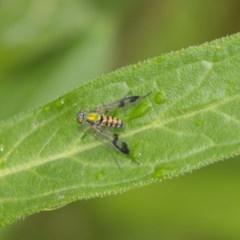 Austrosciapus connexus (Green long-legged fly) at ANBG - 9 Dec 2018 by Alison Milton