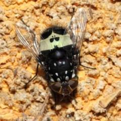 Amphibolia (Amphibolia) ignorata (A bristle fly) at ANBG - 8 Dec 2018 by TimL