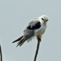 Elanus axillaris (Black-shouldered Kite) at Jerrabomberra Wetlands - 13 Dec 2018 by RodDeb
