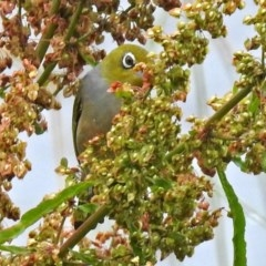 Zosterops lateralis (Silvereye) at Jerrabomberra Wetlands - 13 Dec 2018 by RodDeb
