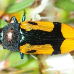 Castiarina skusei (Jewel Beetle) at Jerrawangala National Park - 13 Dec 2018 by Harrisi