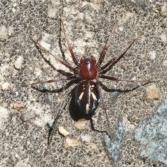 Habronestes bradleyi (Bradley's ant-eating spider) at ANBG - 27 Oct 2018 by silversea_starsong