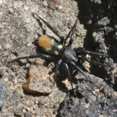 Eilica sp. (genus) (An Ant spider or Spotted ground spider) at ANBG - 27 Oct 2018 by silversea_starsong