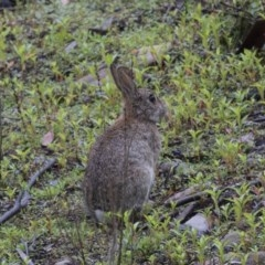 Oryctolagus cuniculus (European Rabbit) at Tidbinbilla Nature Reserve - 13 Dec 2018 by Alison Milton