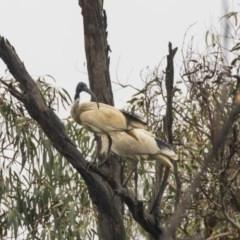 Threskiornis molucca (Australian White Ibis) at Tidbinbilla Nature Reserve - 13 Dec 2018 by Alison Milton
