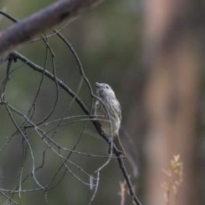Pachycephala rufiventris at Tidbinbilla Nature Reserve - 14 Dec 2018