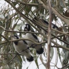 Grallina cyanoleuca (Magpie-lark) at Tidbinbilla Nature Reserve - 14 Dec 2018 by Alison Milton