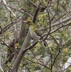 Oriolus sagittatus (Olive-backed Oriole) at Red Hill Nature Reserve - 13 Dec 2018 by JackyF