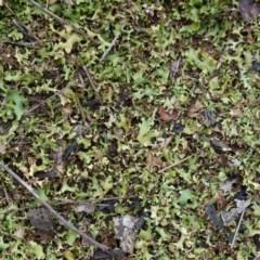 Heterodea sp. (A lichen) at Hughes Grassy Woodland - 13 Dec 2018 by JackyF