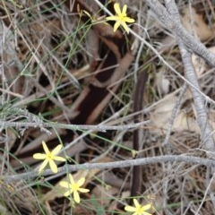 Tricoryne elatior (Yellow Rush Lily) at Deakin, ACT - 13 Dec 2018 by JackyF