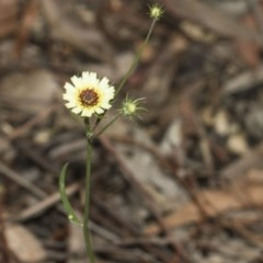 Tolpis barbata (Yellow Hawkweed) at ANBG - 10 Dec 2018 by AlisonMilton