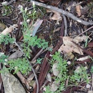 Vittadinia muelleri at Red Hill Nature Reserve - 14 Dec 2018