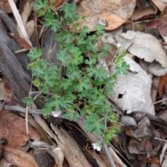 Geranium sp. at Red Hill Nature Reserve - 13 Dec 2018