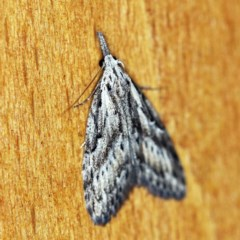 Nola vernalis (Dagger Tuft-moth) at O'Connor, ACT - 9 Dec 2018 by ibaird