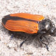 Castiarina rufipennis (Jewel beetle) at Jerrawangala National Park - 12 Dec 2018 by Harrisi