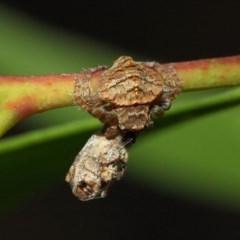 Dolophones sp. (genus) (Wrap-around spider) at ANBG - 11 Dec 2018 by Tim L