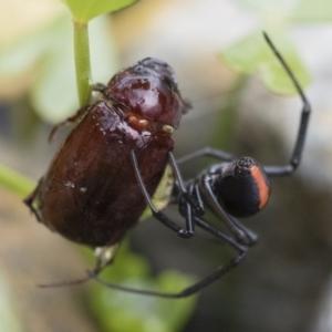 Latrodectus hasselti at Michelago, NSW - 10 Dec 2018