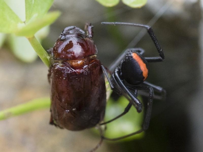 Melolonthinae sp. (subfamily) at Michelago, NSW - 10 Dec 2018