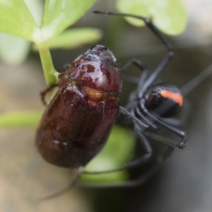 Melolonthinae sp. (subfamily) at Illilanga & Baroona - 10 Dec 2018