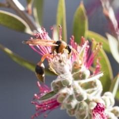 Delta bicinctum (Potter wasp) at Michelago, NSW - 30 Nov 2018 by Illilanga
