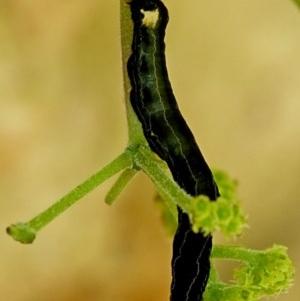 Calyptra minuticornis at Brogo, NSW - 16 Dec 2018