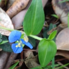 Commelina cyanea (Scurvy Weed) at FS Private Property - 15 Dec 2018 by Stewart