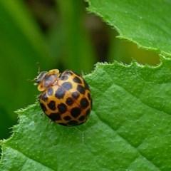 Epilachna sp. (genus) (a ladybird beetle) at Brogo, NSW - 13 Dec 2018 by MaxCampbell