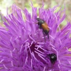 Phyllotocus navicularis (Nectar scarab) at Mount Mugga Mugga - 15 Dec 2018 by Mike