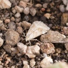 Hellula hydralis (Cabbage Centre Moth) at Michelago, NSW - 15 Dec 2018 by Illilanga