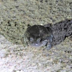 Limnodynastes dumerilii (Eastern Banjo Frog) at Namadgi National Park - 15 Dec 2018 by KumikoCallaway