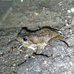Litoria peronii (Peron's Tree-frog) at Namadgi National Park - 15 Dec 2018 by KumikoCallaway