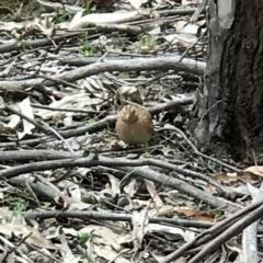 Turnix velox (Little Button-quail) at Tidbinbilla Nature Reserve - 9 Dec 2018 by TidNam