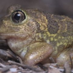 Neobatrachus sudellae (Spotted Burrowing Frog, Sudell's Frog) at Watson Woodlands - 15 Dec 2018 by danswell