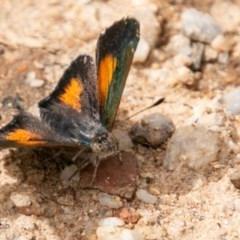 Paralucia aurifer (Bright Copper) at Tidbinbilla Nature Reserve - 15 Dec 2018 by SWishart