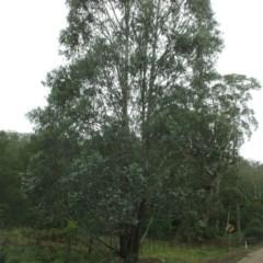 Eucalyptus kartzoffiana (Araluen Gum) at Araluen, NSW - 10 Dec 2018 by JackieMiles