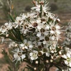 Kunzea ericoides (Burgan) at Percival Hill - 16 Dec 2018 by gavinlongmuir